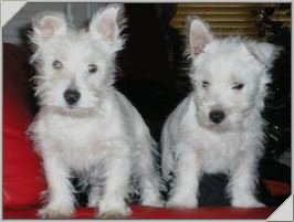 Podge and Rodge, rehomed in 2008 by Westie Rescue Ireland.