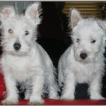 Photo of Two Westies, rescued and rehomed by Westie Rescue Ireland