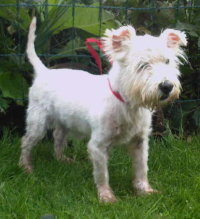 Freddie after being cared for by Westie Rescue Ireland