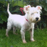 Photo of Freddie, rescued and rehomed by Westie Rescue Ireland