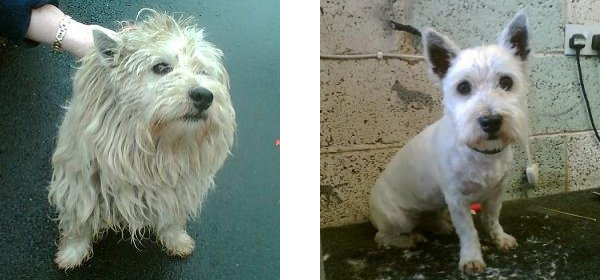 Toby, before and after he was rescued and cleaned up by Westie Rescue Ireland.