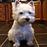 Photo of Megan, rescued and rehomed by Westie Rescue Ireland