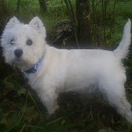 Photo of Milo, rescued and rehomed by Westie Rescue Ireland