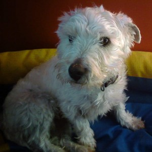 Molly, rehomed by Westie Rescue Ireland