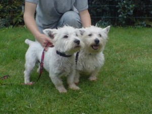Sam and Lilly, rehomed in 2008 by Westie Rescue Ireland