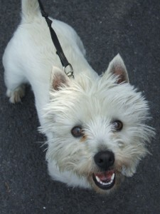 Photo of Sandy, rehomed in 2007 by Westie Rescue Ireland