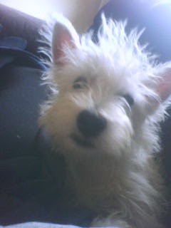 Sonny, just after being handed over to Westie rescue Irealnd