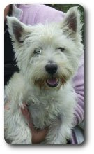 Photo of Bradley, rescued and rehomed by Westie Rescue Ireland