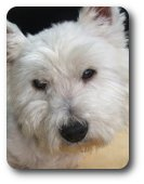 Photo of Jamie, rescued and rehomed by Westie Rescue Ireland