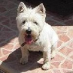 Photo of Missy, rescued and rehomed by Westie Rescue Ireland