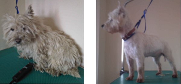 Molly, before and after she was cleaned up by Westie Rescue Ireland.