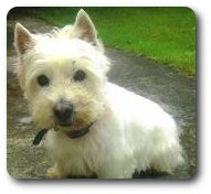 Photo of Snowy, rescued and rehomed by Westie Rescue Ireland
