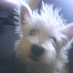 Photo of Sonny, rescued and rehomed by Westie Rescue Ireland