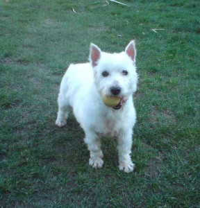 Chalkie on his big rehoming day on March 7th 2010, complete with customary tennis ball in gob!